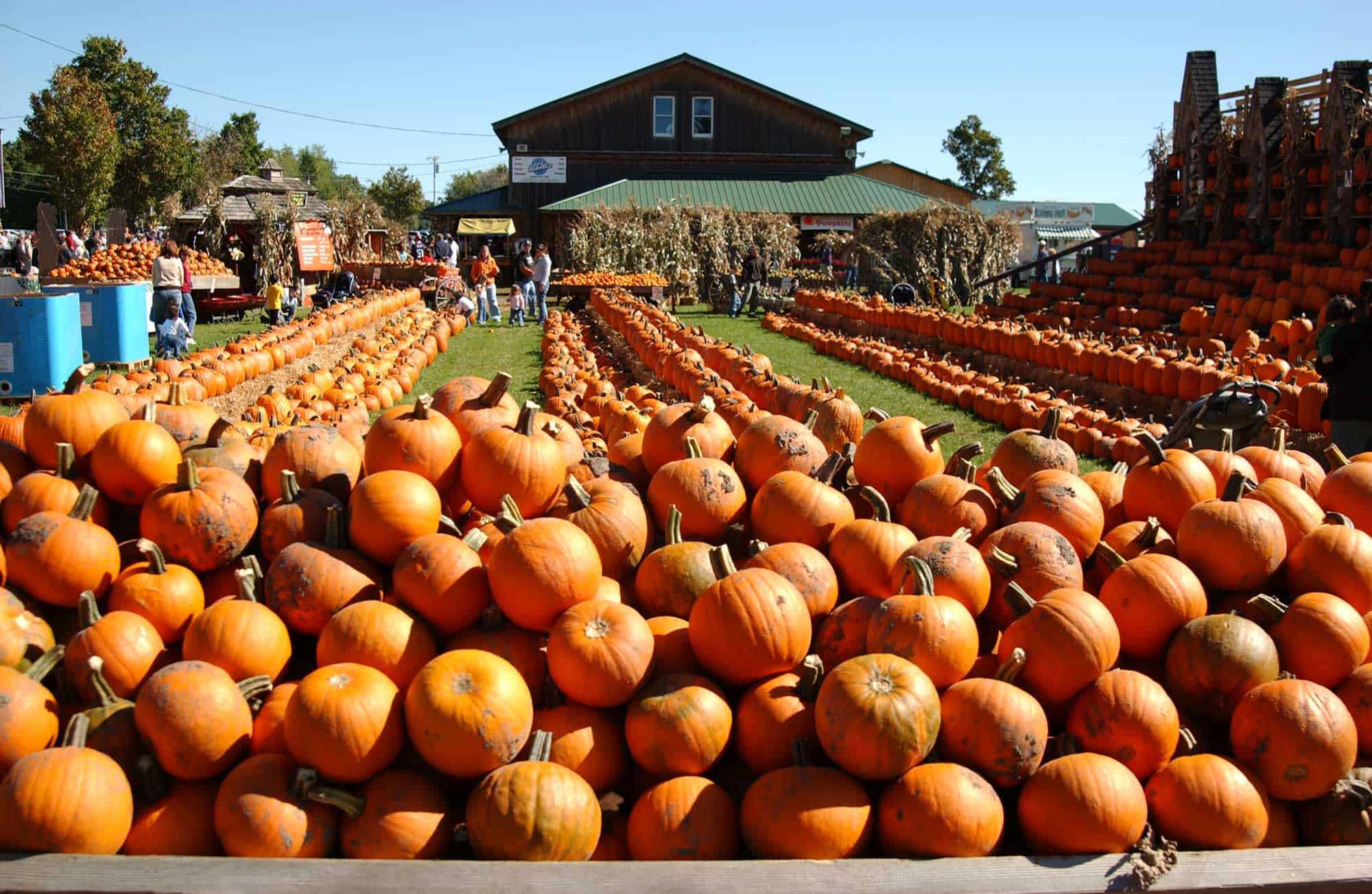 pumpkin-farm-clarence-ny-pile-of-pumpkins-min