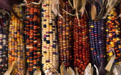 Multi-colored Indian corn at a farm in Marion County, Oregon
