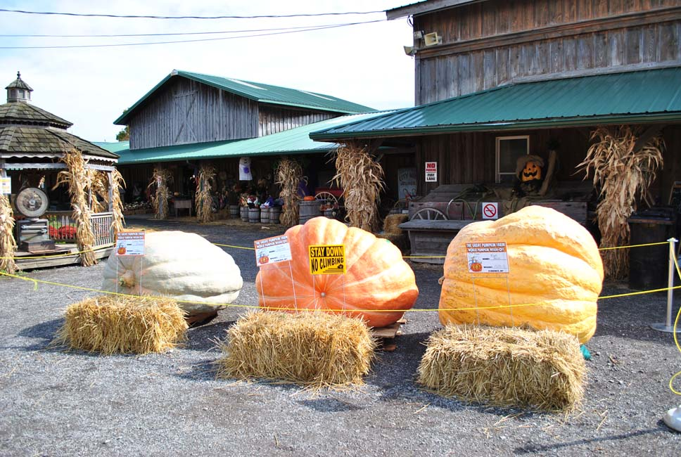 It's the Annual World Pumpkin Weigh-off at the Great Pumpkin Farm This Weekend!