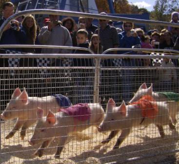 Pigs running Shawnee Web