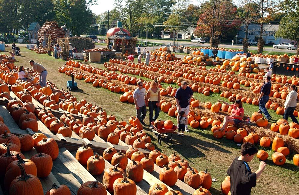 Zillions of pumpkins at the great pumpkin farm