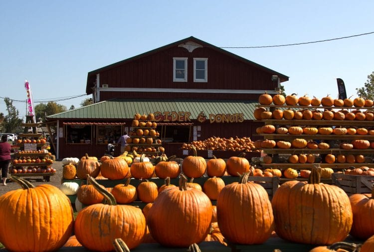 Zillions of pumpkins at the great pumpkin farm